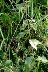 """Dürrwurz - Inula conyzae; Bildquelle: <a href=""""https://www.pflanzen-deutschland.de/quellen.php?bild_quelle=Wikipedia User Rotatebot"""">Wikipedia User Rotatebot</a>; Bildlizenz: <a href=""""https://creativecommons.org/licenses/by-sa/3.0/deed.de"""" target=_blank title=""""Namensnennung - Weitergabe unter gleichen Bedingungen 3.0 Unported (CC BY-SA 3.0)"""">CC BY-SA 3.0</a>; <br>Wiki Commons Bildbeschreibung: <a href=""""https://commons.wikimedia.org/wiki/File:Inula_conyzae_ENBLA02.jpg"""" target=_blank title=""""https://commons.wikimedia.org/wiki/File:Inula_conyzae_ENBLA02.jpg"""">https://commons.wikimedia.org/wiki/File:Inula_conyzae_ENBLA02.jpg</a>"""
