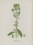 """Dürrwurz - Inula conyzae; Bildquelle: <a href=""""https://www.pflanzen-deutschland.de/quellen.php?bild_quelle=Jaume Saint-Hilaire, J. H. 1822 Plantes de la France. 9. Band. Eigenverlag, Paris. Tafel 838."""">Jaume Saint-Hilaire, J. H. 1822 Plantes de la France. 9. Band. Eigenverlag, Paris. Tafel 838.</a>; Bildlizenz: <a href=""""https://creativecommons.org/licenses/publicdomain/deed.de"""" target=_blank title=""""Public Domain"""">Public Domain</a>;"""