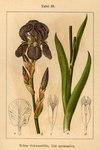 """Deutsche Schwertlilie - Iris germanica; Bildquelle: <a href=""""https://www.pflanzen-deutschland.de/quellen.php?bild_quelle=Deutschlands Flora in Abbildungen 1796"""">Deutschlands Flora in Abbildungen 1796</a>; Bildlizenz: <a href=""""https://creativecommons.org/licenses/publicdomain/deed.de"""" target=_blank title=""""Public Domain"""">Public Domain</a>;"""