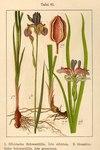"""Grasblättrige Schwertlilie - Iris graminea; Bildquelle: <a href=""""https://www.pflanzen-deutschland.de/quellen.php?bild_quelle=Deutschlands Flora in Abbildungen 1796"""">Deutschlands Flora in Abbildungen 1796</a>; Bildlizenz: <a href=""""https://creativecommons.org/licenses/publicdomain/deed.de"""" target=_blank title=""""Public Domain"""">Public Domain</a>;"""