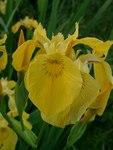 """Sumpf-Schwertlilie - Iris pseudacorus; Bildquelle: © <a href=""""https://www.pflanzen-deutschland.de/quellen.php?bild_quelle=Bönisch 2009"""">Bönisch 2009</a> - <b>All rights reserved</b>"""