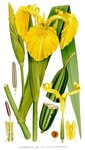 """Sumpf-Schwertlilie - Iris pseudacorus; Bildquelle: <a href=""""https://www.pflanzen-deutschland.de/quellen.php?bild_quelle=Carl Axel Magnus Lindman Bilder ur Nordens Flora 1901-1905"""">Carl Axel Magnus Lindman Bilder ur Nordens Flora 1901-1905</a>; Bildlizenz: <a href=""""https://creativecommons.org/licenses/publicdomain/deed.de"""" target=_blank title=""""Public Domain"""">Public Domain</a>;"""