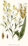 """Färberwaid - Isatis tinctoria; Bildquelle: <a href=""""https://www.pflanzen-deutschland.de/quellen.php?bild_quelle=Carl Axel Magnus Lindman Bilder ur Nordens Flora 1901-1905"""">Carl Axel Magnus Lindman Bilder ur Nordens Flora 1901-1905</a>; Bildlizenz: <a href=""""https://creativecommons.org/licenses/publicdomain/deed.de"""" target=_blank title=""""Public Domain"""">Public Domain</a>;"""