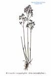 """Nelken-Haferschmiele - Aira caryophyllea; Bildquelle: <a href=""""https://www.pflanzen-deutschland.de/quellen.php?bild_quelle=Atlas des plantes de France. 1891"""">Atlas des plantes de France. 1891</a>; Bildlizenz: <a href=""""https://creativecommons.org/licenses/publicdomain/deed.de"""" target=_blank title=""""Public Domain"""">Public Domain</a>;"""