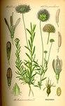 """Berg-Sandglöckchen - Jasione montana; Bildquelle: <a href=""""https://www.pflanzen-deutschland.de/quellen.php?bild_quelle=Prof. Dr. Otto Wilhelm Thome Flora von Deutschland, Österreich und der Schweiz 1885, Gera, Germany"""">Prof. Dr. Otto Wilhelm Thome Flora von Deutschland, Österreich und der Schweiz 1885, Gera, Germany</a>; Bildlizenz: <a href=""""https://creativecommons.org/licenses/publicdomain/deed.de"""" target=_blank title=""""Public Domain"""">Public Domain</a>;"""