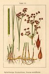"Spitzblütige Binse - Juncus acutiflorus; Bildquelle: <a href=""https://www.pflanzen-deutschland.de/quellen.php?bild_quelle=Deutschlands Flora in Abbildungen 1796"">Deutschlands Flora in Abbildungen 1796</a>; Bildlizenz: <a href=""https://creativecommons.org/licenses/publicdomain/deed.de"" target=_blank title=""Public Domain"">Public Domain</a>;"