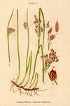 """Baltische Binse - Juncus balticus; Bildquelle: <a href=""""https://www.pflanzen-deutschland.de/quellen.php?bild_quelle=Deutschlands Flora in Abbildungen, Johann Georg Sturm 1796"""">Deutschlands Flora in Abbildungen, Johann Georg Sturm 1796</a>; Bildlizenz: <a href=""""https://creativecommons.org/licenses/publicdomain/deed.de"""" target=_blank title=""""Public Domain"""">Public Domain</a>;"""