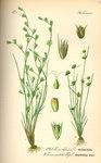 """Gewöhnliche Kröten-Binse - Juncus bufonius; Bildquelle: <a href=""""https://www.pflanzen-deutschland.de/quellen.php?bild_quelle=Prof. Dr. Otto Wilhelm Thome Flora von Deutschland, Österreich und der Schweiz 1885, Gera, Germany"""">Prof. Dr. Otto Wilhelm Thome Flora von Deutschland, Österreich und der Schweiz 1885, Gera, Germany</a>; Bildlizenz: <a href=""""https://creativecommons.org/licenses/publicdomain/deed.de"""" target=_blank title=""""Public Domain"""">Public Domain</a>;"""