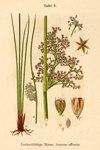 "Flatter-Binse - Juncus effusus; Bildquelle: <a href=""https://www.pflanzen-deutschland.de/quellen.php?bild_quelle=Deutschlands Flora in Abbildungen 1796"">Deutschlands Flora in Abbildungen 1796</a>; Bildlizenz: <a href=""https://creativecommons.org/licenses/publicdomain/deed.de"" target=_blank title=""Public Domain"">Public Domain</a>;"
