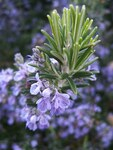 "Rosmarin - Rosmarinus officinalis; Bildquelle: <a href=""https://www.pflanzen-deutschland.de/quellen.php?bild_quelle=Wikipedia User Epibase"">Wikipedia User Epibase</a>; Bildlizenz: <a href=""https://creativecommons.org/licenses/by-sa/2.0/deed.de"" target=_blank title=""Namensnennung - Weitergabe unter gleichen Bedingungen 2.0 Unported (CC BY-SA 2.0)"">CC BY 2.0</a>; <br>Wiki Commons Bildbeschreibung: <a href=""https://commons.wikimedia.org/wiki/File:Rosmarinus_officinalis133095382.jpg"" target=_blank title=""https://commons.wikimedia.org/wiki/File:Rosmarinus_officinalis133095382.jpg"">https://commons.wikimedia.org/wiki/File:Rosmarinus_officinalis133095382.jpg</a>"