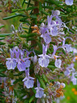 "Rosmarin - Rosmarinus officinalis; Bildquelle: <a href=""https://www.pflanzen-deutschland.de/quellen.php?bild_quelle=Wikipedia User Llez"">Wikipedia User Llez</a>; Bildlizenz: <a href=""https://creativecommons.org/licenses/by-sa/3.0/deed.de"" target=_blank title=""Namensnennung - Weitergabe unter gleichen Bedingungen 3.0 Unported (CC BY-SA 3.0)"">CC BY-SA 3.0</a>;"