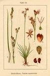"Sparrige Binse - Juncus squarrosus; Bildquelle: <a href=""https://www.pflanzen-deutschland.de/quellen.php?bild_quelle=Deutschlands Flora in Abbildungen 1796"">Deutschlands Flora in Abbildungen 1796</a>; Bildlizenz: <a href=""https://creativecommons.org/licenses/publicdomain/deed.de"" target=_blank title=""Public Domain"">Public Domain</a>;"