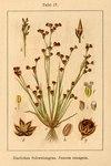 "Sand-Binse - Juncus tenageia; Bildquelle: <a href=""https://www.pflanzen-deutschland.de/quellen.php?bild_quelle=Deutschlands Flora in Abbildungen 1796"">Deutschlands Flora in Abbildungen 1796</a>; Bildlizenz: <a href=""https://creativecommons.org/licenses/publicdomain/deed.de"" target=_blank title=""Public Domain"">Public Domain</a>;"