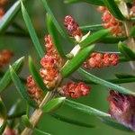 """Gemeiner Wacholder - Juniperus communis; Bildquelle: <a href=""""https://www.pflanzen-deutschland.de/quellen.php?bild_quelle=Wikipedia User Bff"""">Wikipedia User Bff</a>; Bildlizenz: <a href=""""https://creativecommons.org/licenses/by-sa/3.0/deed.de"""" target=_blank title=""""Namensnennung - Weitergabe unter gleichen Bedingungen 3.0 Unported (CC BY-SA 3.0)"""">CC BY-SA 3.0</a>;"""