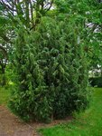 "Gemeiner Wacholder - Juniperus communis; Bildquelle: <a href=""https://www.pflanzen-deutschland.de/quellen.php?bild_quelle=Wikipedia User Llez"">Wikipedia User Llez</a>; Bildlizenz: <a href=""https://creativecommons.org/licenses/by-sa/3.0/deed.de"" target=_blank title=""Namensnennung - Weitergabe unter gleichen Bedingungen 3.0 Unported (CC BY-SA 3.0)"">CC BY-SA 3.0</a>;"