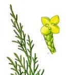 """Stink-Wacholder - Juniperus sabina; Bildquelle: <a href=""""https://www.pflanzen-deutschland.de/quellen.php?bild_quelle=""""></a>; Bildlizenz: <a href=""""https://creativecommons.org/licenses/publicdomain/deed.de"""" target=_blank title=""""Public Domain"""">Public Domain</a>;"""