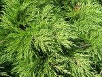 """Stink-Wacholder - Juniperus sabina; Bildquelle: <a href=""""https://www.pflanzen-deutschland.de/quellen.php?bild_quelle=Wikipedia User MPF"""">Wikipedia User MPF</a>; Bildlizenz: <a href=""""https://creativecommons.org/licenses/by-sa/3.0/deed.de"""" target=_blank title=""""Namensnennung - Weitergabe unter gleichen Bedingungen 3.0 Unported (CC BY-SA 3.0)"""">CC BY-SA 3.0</a>;"""