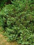 """Stink-Wacholder - Juniperus sabina; Bildquelle: <a href=""""https://www.pflanzen-deutschland.de/quellen.php?bild_quelle=Wikipedia User Llez"""">Wikipedia User Llez</a>; Bildlizenz: <a href=""""https://creativecommons.org/licenses/by-sa/3.0/deed.de"""" target=_blank title=""""Namensnennung - Weitergabe unter gleichen Bedingungen 3.0 Unported (CC BY-SA 3.0)"""">CC BY-SA 3.0</a>;"""
