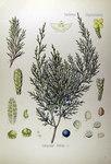 """Stink-Wacholder - Juniperus sabina; Bildquelle: <a href=""""https://www.pflanzen-deutschland.de/quellen.php?bild_quelle=Köhlers Medizinal-Pflanzen in naturgetreuen Abbildungen mit kurz erläuterndem Texte. Band 2. 1887"""">Köhlers Medizinal-Pflanzen in naturgetreuen Abbildungen mit kurz erläuterndem Texte. Band 2. 1887</a>; Bildlizenz: <a href=""""https://creativecommons.org/licenses/publicdomain/deed.de"""" target=_blank title=""""Public Domain"""">Public Domain</a>;"""