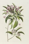 "Schmalblättrige Lorbeerrose - Kalmia angustifolia; Bildquelle: <a href=""https://www.pflanzen-deutschland.de/quellen.php?bild_quelle=Wikipedia User Fae"">Wikipedia User Fae</a>; Bildlizenz: <a href=""https://creativecommons.org/licenses/by/4.0/deed.de"" target=_blank title=""Namensnennung 4.0 International (CC BY 4.0)"">CC BY 4.0</a>; <br>Wiki Commons Bildbeschreibung: <a href=""https://commons.wikimedia.org/wiki/File:Kalmia_angustifolia_from_The_natural_history_of_Carolina..._Wellcome_L0047452.jpg"" target=_blank title=""https://commons.wikimedia.org/wiki/File:Kalmia_angustifolia_from_The_natural_history_of_Carolina..._Wellcome_L0047452.jpg"">https://commons.wikimedia.org/wiki/File:Kalmia_angustifolia_from_The_natural_history_of_Carolina..._Wellcome_L0047452.jpg</a>"