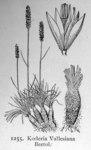 "Walliser Schillergras - Koeleria vallesiana; Bildquelle: <a href=""https://www.pflanzen-deutschland.de/quellen.php?bild_quelle=Illustrations of the British Flora 1924 - Walter Hood Fitch"">Illustrations of the British Flora 1924 - Walter Hood Fitch</a>; Bildlizenz: <a href=""https://creativecommons.org/licenses/publicdomain/deed.de"" target=_blank title=""Public Domain"">Public Domain</a>;"