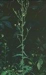 """Eichen-Lattich - Lactuca quercina; Bildquelle: <a href=""""https://www.pflanzen-deutschland.de/quellen.php?bild_quelle=Wikipedia User Fornax"""">Wikipedia User Fornax</a>; Bildlizenz: <a href=""""https://creativecommons.org/licenses/by-sa/3.0/deed.de"""" target=_blank title=""""Namensnennung - Weitergabe unter gleichen Bedingungen 3.0 Unported (CC BY-SA 3.0)"""">CC BY-SA 3.0</a>;"""