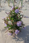 """Tataren-Lattich - Lactuca tatarica; Bildquelle: <a href=""""https://www.pflanzen-deutschland.de/quellen.php?bild_quelle=Wikipedia User Kenraiz"""">Wikipedia User Kenraiz</a>; Bildlizenz: <a href=""""https://creativecommons.org/licenses/by-sa/3.0/deed.de"""" target=_blank title=""""Namensnennung - Weitergabe unter gleichen Bedingungen 3.0 Unported (CC BY-SA 3.0)"""">CC BY-SA 3.0</a>; <br>Wiki Commons Bildbeschreibung: <a href=""""https://commons.wikimedia.org/wiki/File:Lactuca_tatarica_kz2.jpg"""" target=_blank title=""""https://commons.wikimedia.org/wiki/File:Lactuca_tatarica_kz2.jpg"""">https://commons.wikimedia.org/wiki/File:Lactuca_tatarica_kz2.jpg</a>"""