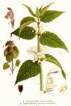 """Weiße Taubnessel - Lamium album; Bildquelle: <a href=""""https://www.pflanzen-deutschland.de/quellen.php?bild_quelle=Carl Axel Magnus Lindman Bilder ur Nordens Flora 1901-1905"""">Carl Axel Magnus Lindman Bilder ur Nordens Flora 1901-1905</a>; Bildlizenz: <a href=""""https://creativecommons.org/licenses/publicdomain/deed.de"""" target=_blank title=""""Public Domain"""">Public Domain</a>;"""