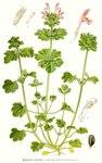 "Stengelumfassende Taubnessel - Lamium amplexicaule; Bildquelle: <a href=""https://www.pflanzen-deutschland.de/quellen.php?bild_quelle=Carl Axel Magnus Lindman Bilder ur Nordens Flora 1901-1905"">Carl Axel Magnus Lindman Bilder ur Nordens Flora 1901-1905</a>; Bildlizenz: <a href=""https://creativecommons.org/licenses/publicdomain/deed.de"" target=_blank title=""Public Domain"">Public Domain</a>;"
