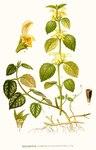 "Gewöhnliche Goldnessel - Lamium galeobdolon; Bildquelle: <a href=""https://www.pflanzen-deutschland.de/quellen.php?bild_quelle=Carl Axel Magnus Lindman Bilder ur Nordens Flora 1901-1905"">Carl Axel Magnus Lindman Bilder ur Nordens Flora 1901-1905</a>; Bildlizenz: <a href=""https://creativecommons.org/licenses/publicdomain/deed.de"" target=_blank title=""Public Domain"">Public Domain</a>;"