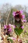"Purpurrote Taubnessel - Lamium purpureum; Bildquelle: <a href=""https://www.pflanzen-deutschland.de/quellen.php?bild_quelle=Wikipedia User Rotatebot"">Wikipedia User Rotatebot</a>; Bildlizenz: <a href=""https://creativecommons.org/licenses/by-sa/3.0/deed.de"" target=_blank title=""Namensnennung - Weitergabe unter gleichen Bedingungen 3.0 Unported (CC BY-SA 3.0)"">CC BY-SA 3.0</a>;"