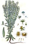 """Kletten-Igelsame - Lappula squarrosa; Bildquelle: <a href=""""https://www.pflanzen-deutschland.de/quellen.php?bild_quelle=Deutschlands Flora in Abbildungen 1796"""">Deutschlands Flora in Abbildungen 1796</a>; Bildlizenz: <a href=""""https://creativecommons.org/licenses/publicdomain/deed.de"""" target=_blank title=""""Public Domain"""">Public Domain</a>;"""