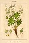 "Alpen-Frauenmantel - Alchemilla alpina; Bildquelle: <a href=""https://www.pflanzen-deutschland.de/quellen.php?bild_quelle=Deutschlands Flora in Abbildungen 1796"">Deutschlands Flora in Abbildungen 1796</a>; Bildlizenz: <a href=""https://creativecommons.org/licenses/publicdomain/deed.de"" target=_blank title=""Public Domain"">Public Domain</a>;"