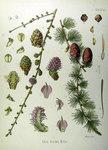 """Europäische Lärche - Larix decidua; Bildquelle: <a href=""""https://www.pflanzen-deutschland.de/quellen.php?bild_quelle=Köhlers Medizinal-Pflanzen in naturgetreuen Abbildungen mit kurz erläuterndem Texte. Band 1. 1887"""">Köhlers Medizinal-Pflanzen in naturgetreuen Abbildungen mit kurz erläuterndem Texte. Band 1. 1887</a>; Bildlizenz: <a href=""""https://creativecommons.org/licenses/publicdomain/deed.de"""" target=_blank title=""""Public Domain"""">Public Domain</a>;"""