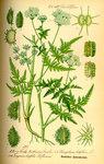 """Breitblättriges Laserkraut - Laserpitium latifolium; Bildquelle: <a href=""""https://www.pflanzen-deutschland.de/quellen.php?bild_quelle=Prof. Dr. Otto Wilhelm Thome Flora von Deutschland, Österreich und der Schweiz 1885, Gera, Germany"""">Prof. Dr. Otto Wilhelm Thome Flora von Deutschland, Österreich und der Schweiz 1885, Gera, Germany</a>; Bildlizenz: <a href=""""https://creativecommons.org/licenses/publicdomain/deed.de"""" target=_blank title=""""Public Domain"""">Public Domain</a>;"""