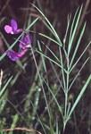 """Schwertblättrige Platterbse - Lathyrus bauhini; Bildquelle: <a href=""""https://www.pflanzen-deutschland.de/quellen.php?bild_quelle=Wikipedia User Fornax"""">Wikipedia User Fornax</a>; Bildlizenz: <a href=""""https://creativecommons.org/licenses/by-sa/3.0/deed.de"""" target=_blank title=""""Namensnennung - Weitergabe unter gleichen Bedingungen 3.0 Unported (CC BY-SA 3.0)"""">CC BY-SA 3.0</a>; <br>Wiki Commons Bildbeschreibung: <a href=""""https://commons.wikimedia.org/wiki/File:Lathyrus_bauhinii2_eF.jpg"""" target=_blank title=""""https://commons.wikimedia.org/wiki/File:Lathyrus_bauhinii2_eF.jpg"""">https://commons.wikimedia.org/wiki/File:Lathyrus_bauhinii2_eF.jpg</a>"""