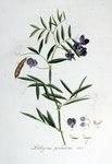 """Sumpf-Platterbse - Lathyrus palustris; Bildquelle: <a href=""""https://www.pflanzen-deutschland.de/quellen.php?bild_quelle=Wikipedia User FloraUploadR"""">Wikipedia User FloraUploadR</a>; Bildlizenz: <a href=""""https://creativecommons.org/licenses/by-sa/3.0/deed.de"""" target=_blank title=""""Namensnennung - Weitergabe unter gleichen Bedingungen 3.0 Unported (CC BY-SA 3.0)"""">CC BY-SA 3.0</a>;"""