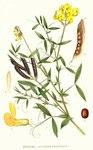 """Wiesen-Platterbse - Lathyrus pratensis; Bildquelle: <a href=""""https://www.pflanzen-deutschland.de/quellen.php?bild_quelle=Carl Axel Magnus Lindman Bilder ur Nordens Flora 1901-1905"""">Carl Axel Magnus Lindman Bilder ur Nordens Flora 1901-1905</a>; Bildlizenz: <a href=""""https://creativecommons.org/licenses/publicdomain/deed.de"""" target=_blank title=""""Public Domain"""">Public Domain</a>;"""