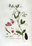 """Knollen-Platterbse - Lathyrus tuberosus; Bildquelle: <a href=""""https://www.pflanzen-deutschland.de/quellen.php?bild_quelle=Wikipedia User FloraUploadR"""">Wikipedia User FloraUploadR</a>; Bildlizenz: <a href=""""https://creativecommons.org/licenses/publicdomain/deed.de"""" target=_blank title=""""Public Domain"""">Public Domain</a>;"""