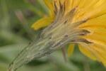 """Herbst-Löwenzahn - Leontodon autumnalis; Bildquelle: <a href=""""https://www.pflanzen-deutschland.de/quellen.php?bild_quelle=Wikipedia User HermannSchachner"""">Wikipedia User HermannSchachner</a>; Bildlizenz: <a href=""""https://creativecommons.org/licenses/by-sa/3.0/deed.de"""" target=_blank title=""""Namensnennung - Weitergabe unter gleichen Bedingungen 3.0 Unported (CC BY-SA 3.0)"""">CC BY-SA 3.0</a>; <br>Wiki Commons Bildbeschreibung: <a href=""""https://commons.wikimedia.org/wiki/File:Scorzoneroides_autumnalis_(Schuppenleuenzahn)_IMG_29286.JPG"""" target=_blank title=""""https://commons.wikimedia.org/wiki/File:Scorzoneroides_autumnalis_(Schuppenleuenzahn)_IMG_29286.JPG"""">https://commons.wikimedia.org/wiki/File:Scorzoneroides_autumnalis_(Schuppenleuenzahn)_IMG_29286.JPG</a>"""