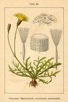 "Herbst-Löwenzahn - Leontodon autumnalis; Bildquelle: <a href=""https://www.pflanzen-deutschland.de/quellen.php?bild_quelle=Deutschlands Flora in Abbildungen 1796"">Deutschlands Flora in Abbildungen 1796</a>; Bildlizenz: <a href=""https://creativecommons.org/licenses/publicdomain/deed.de"" target=_blank title=""Public Domain"">Public Domain</a>;"
