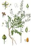 """Grasblättrige Kresse - Lepidium graminifolium; Bildquelle: <a href=""""https://www.pflanzen-deutschland.de/quellen.php?bild_quelle=Deutschlands Flora in Abbildungen 1796"""">Deutschlands Flora in Abbildungen 1796</a>; Bildlizenz: <a href=""""https://creativecommons.org/licenses/publicdomain/deed.de"""" target=_blank title=""""Public Domain"""">Public Domain</a>;"""