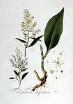 """Pfefferkraut - Lepidium latifolium; Bildquelle: <a href=""""https://www.pflanzen-deutschland.de/quellen.php?bild_quelle=Jan Kops, Flora Batava, Volume 2 1807"""">Jan Kops, Flora Batava, Volume 2 1807</a>; Bildlizenz: <a href=""""https://creativecommons.org/licenses/by-sa/3.0/deed.de"""" target=_blank title=""""Namensnennung - Weitergabe unter gleichen Bedingungen 3.0 Unported (CC BY-SA 3.0)"""">CC BY-SA 3.0</a>;"""