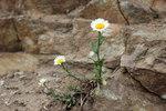 """Fettwiesen-Margerite - Chrysanthemum ircutianum; Bildquelle: <a href=""""https://www.pflanzen-deutschland.de/quellen.php?bild_quelle=Wikipedia User Steinsplitter"""">Wikipedia User Steinsplitter</a>; Bildlizenz: <a href=""""https://creativecommons.org/licenses/by-sa/3.0/deed.de"""" target=_blank title=""""Namensnennung - Weitergabe unter gleichen Bedingungen 3.0 Unported (CC BY-SA 3.0)"""">CC BY-SA 3.0</a>; <br>Wiki Commons Bildbeschreibung: <a href=""""https://commons.wikimedia.org/wiki/File:Leucanthemum_ircutianum.jpg"""" target=_blank title=""""https://commons.wikimedia.org/wiki/File:Leucanthemum_ircutianum.jpg"""">https://commons.wikimedia.org/wiki/File:Leucanthemum_ircutianum.jpg</a>"""