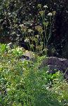 """Alpen-Mutterwurz - Ligusticum mutellina; Bildquelle: <a href=""""https://www.pflanzen-deutschland.de/quellen.php?bild_quelle=Wikipedia User Aka"""">Wikipedia User Aka</a>; Bildlizenz: <a href=""""https://creativecommons.org/licenses/by-sa/3.0/deed.de"""" target=_blank title=""""Namensnennung - Weitergabe unter gleichen Bedingungen 3.0 Unported (CC BY-SA 3.0)"""">CC BY-SA 3.0</a>;"""
