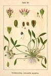 "Schlammling - Limosella aquatica; Bildquelle: <a href=""https://www.pflanzen-deutschland.de/quellen.php?bild_quelle=Deutschlands Flora in Abbildungen 1796"">Deutschlands Flora in Abbildungen 1796</a>; Bildlizenz: <a href=""https://creativecommons.org/licenses/publicdomain/deed.de"" target=_blank title=""Public Domain"">Public Domain</a>;"