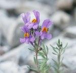 """Alpen-Leinkraut - Linaria alpina; Bildquelle: <a href=""""https://www.pflanzen-deutschland.de/quellen.php?bild_quelle=Wikipedia User BerndH"""">Wikipedia User BerndH</a>; Bildlizenz: <a href=""""https://creativecommons.org/licenses/by-sa/3.0/deed.de"""" target=_blank title=""""Namensnennung - Weitergabe unter gleichen Bedingungen 3.0 Unported (CC BY-SA 3.0)"""">CC BY-SA 3.0</a>;"""