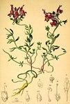 """Alpen-Leinkraut - Linaria alpina; Bildquelle: <a href=""""https://www.pflanzen-deutschland.de/quellen.php?bild_quelle=Wikipedia User Aroche"""">Wikipedia User Aroche</a>; Bildlizenz: <a href=""""https://creativecommons.org/licenses/by-sa/3.0/deed.de"""" target=_blank title=""""Namensnennung - Weitergabe unter gleichen Bedingungen 3.0 Unported (CC BY-SA 3.0)"""">CC BY-SA 3.0</a>;"""