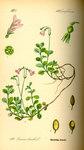 """Moosglöckchen - Linnaea borealis; Bildquelle: <a href=""""https://www.pflanzen-deutschland.de/quellen.php?bild_quelle=Prof. Dr. Otto Wilhelm Thome Flora von Deutschland, Österreich und der Schweiz 1885, Gera, Germany"""">Prof. Dr. Otto Wilhelm Thome Flora von Deutschland, Österreich und der Schweiz 1885, Gera, Germany</a>; Bildlizenz: <a href=""""https://creativecommons.org/licenses/publicdomain/deed.de"""" target=_blank title=""""Public Domain"""">Public Domain</a>;"""