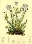 """Alpen-Lein - Linum alpinum; Bildquelle: <a href=""""https://www.pflanzen-deutschland.de/quellen.php?bild_quelle=Anton Hartinger, Atlas der Alpenflora 1882"""">Anton Hartinger, Atlas der Alpenflora 1882</a>; Bildlizenz: <a href=""""https://creativecommons.org/licenses/publicdomain/deed.de"""" target=_blank title=""""Public Domain"""">Public Domain</a>;"""